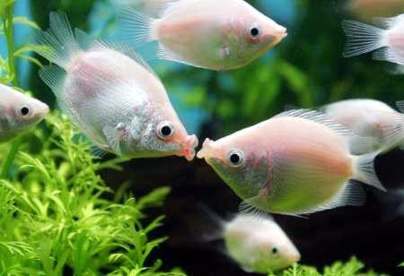 Green Molly Fish